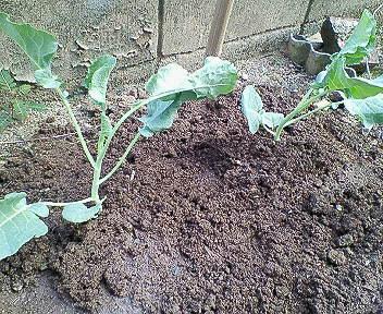 植えたばかりのセニョールの苗